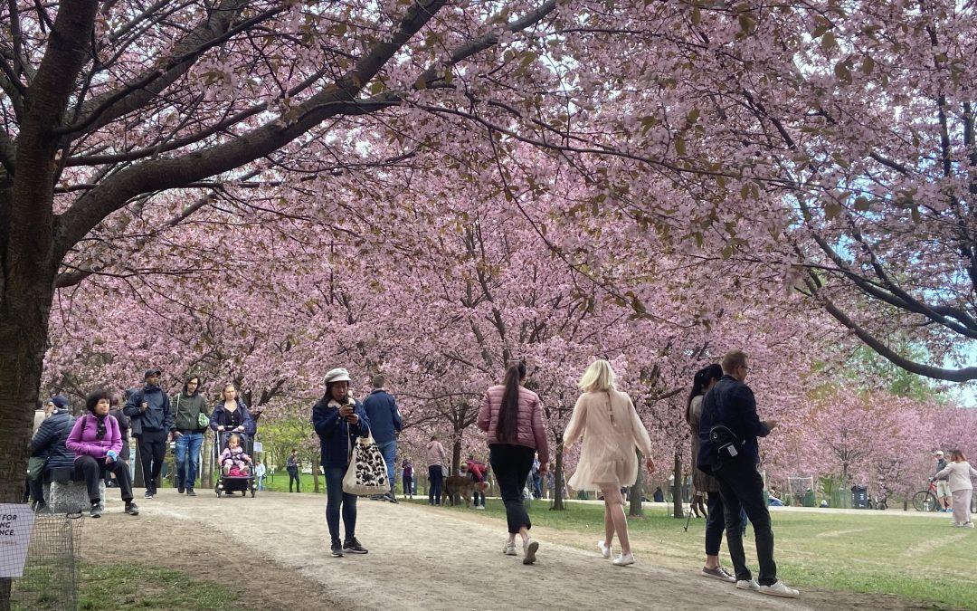 Kirsikkapuisto Kirkkonummelle!